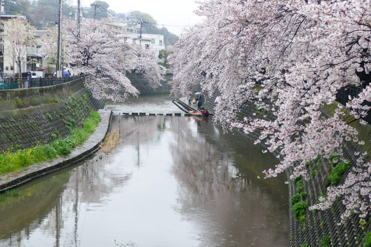 大岡川の桜(弘明寺付近)