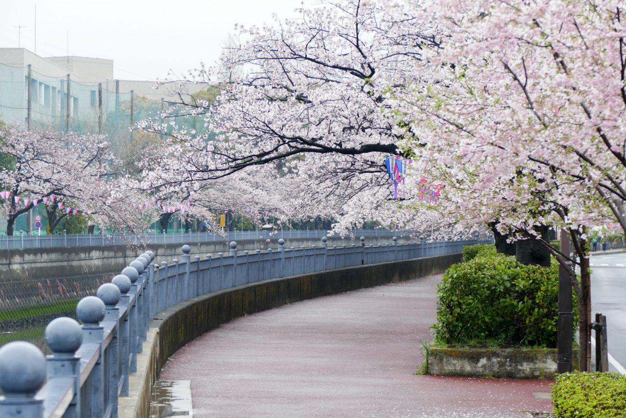 大岡川の桜