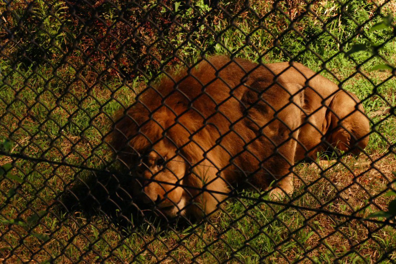 ライオンの食事