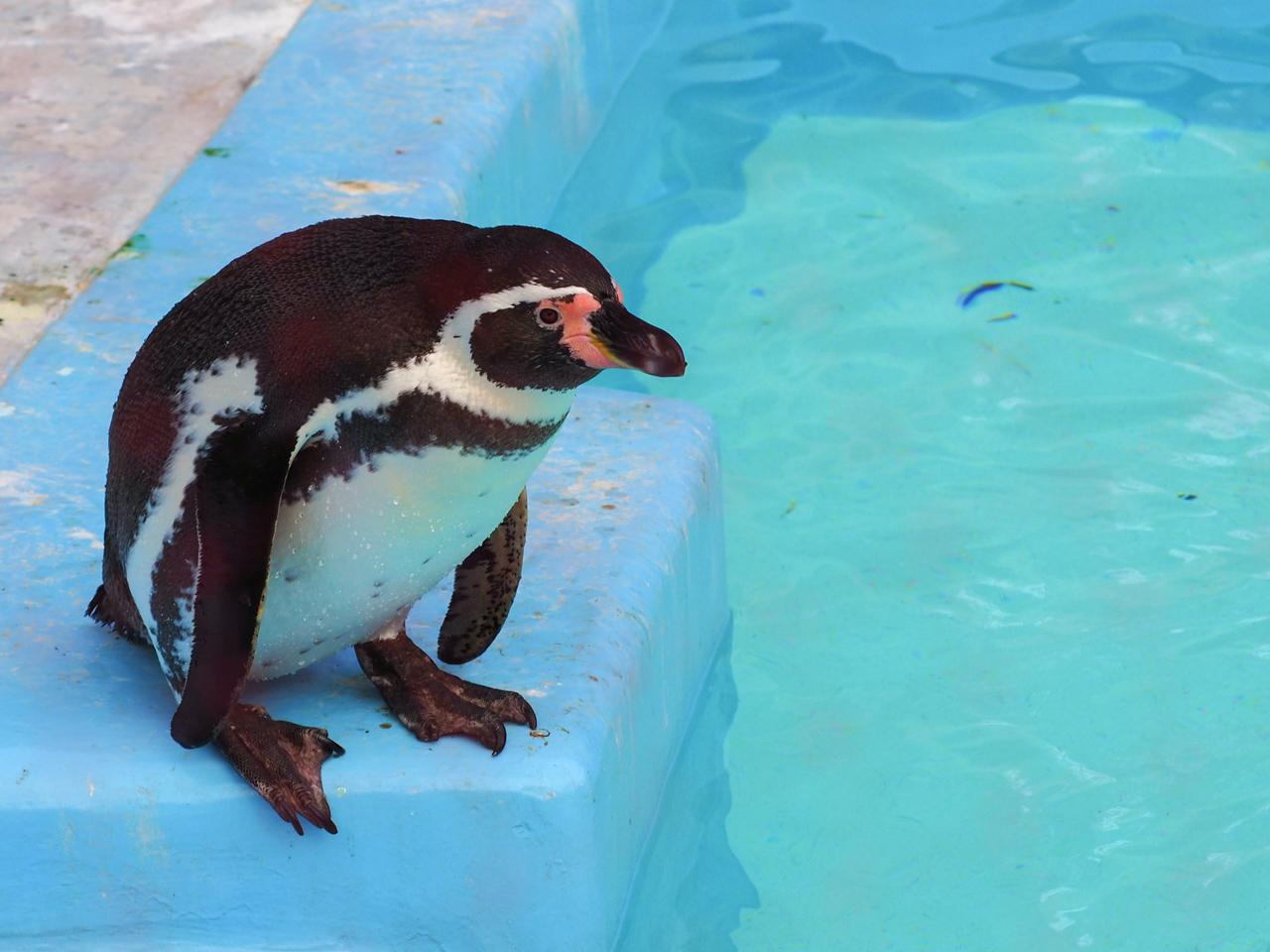野毛山動物園のペンギン