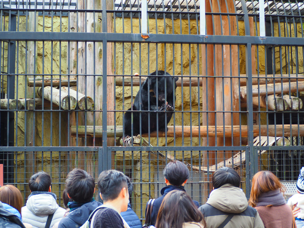 野毛山動物園のツキノワグマ