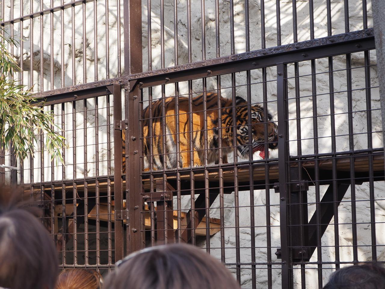 野毛山動物園のトラ