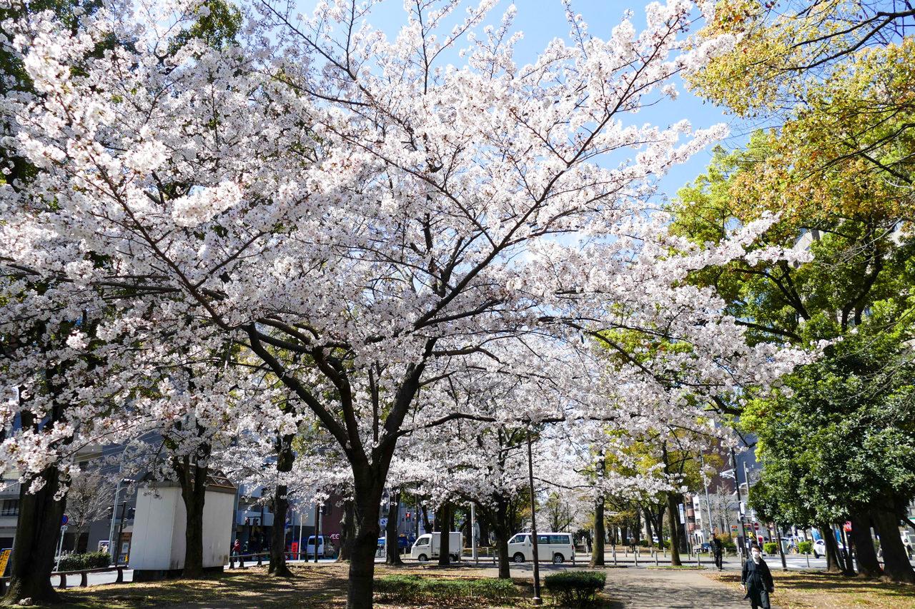 横浜の大通り公園の桜