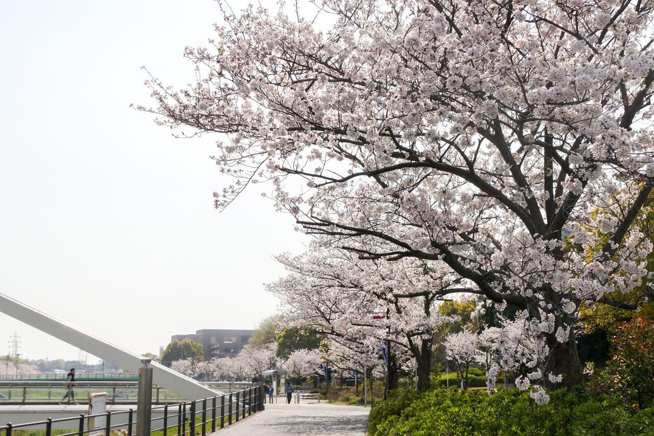 新横浜・鳥山川の桜