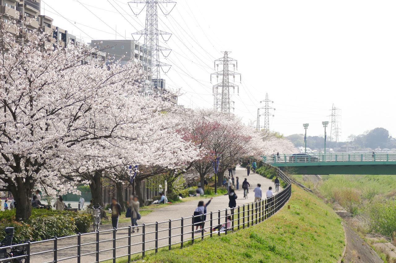 鳥山川の桜並木