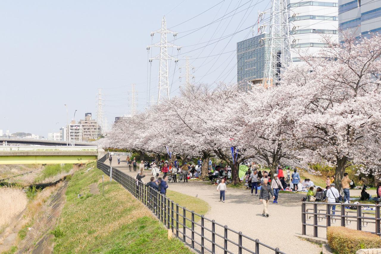 新横浜の桜