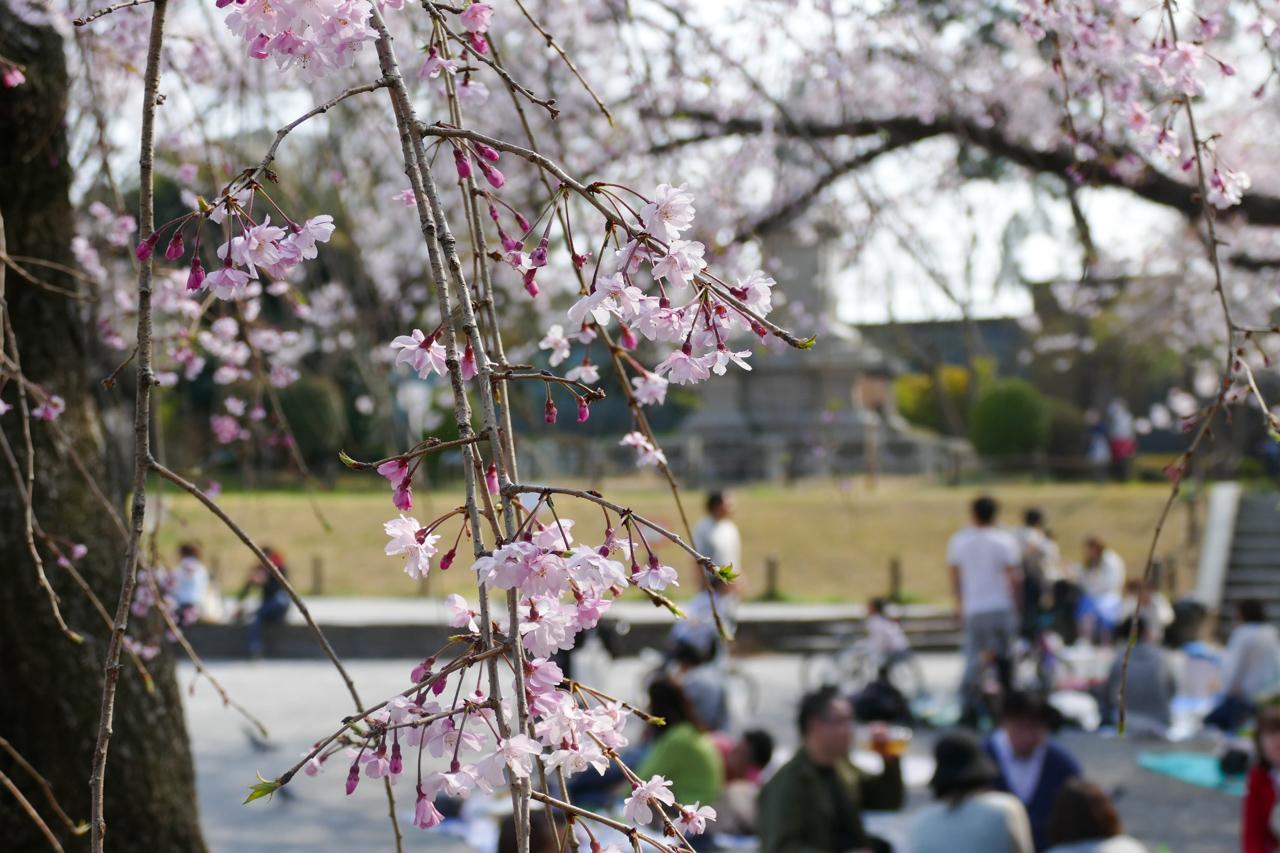 掃部山公園の花見