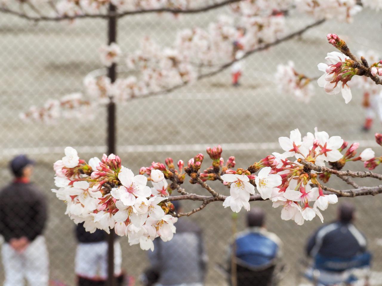 鳥山川の桜